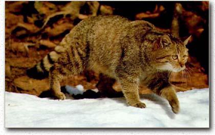 Felis silvestris - a European wildcat